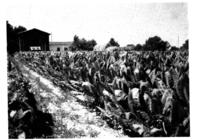 Planche XIII. A. Un champ de tabac mûr
